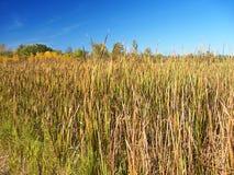 Landskap för Wisconsin cattailträsk Arkivbild