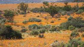 Landskap f?r l?sa blommor - Sydafrika arkivfilmer