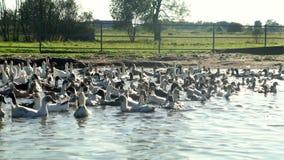 Landskap flocken av änder och gäss som svävar i vattendammet i fågellantgård arkivfilmer