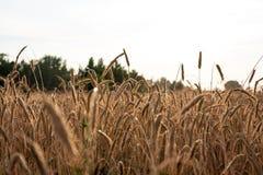 Landskap från en låg vinkel på solnedgången i ett vetefält med guld- spikelets royaltyfri fotografi
