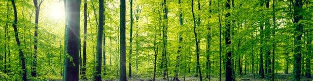 Landskap för bokträdskogpanorama Arkivfoton