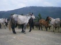 Landskap hästar Royaltyfri Fotografi