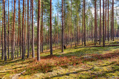 Landskap i en pinjeskog Royaltyfria Foton