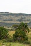 Landskap i masaien Mara Palmträd och kulle kenya Arkivbild