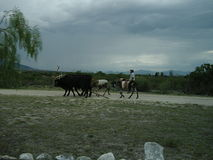 Landskap i Mexiko med bonden och djur Royaltyfri Bild