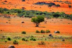 Landskap i namaqualandnationalpark - blommande tid av den afrikanska tusenskönan Royaltyfri Bild