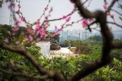 Landskap i persikafruktträdgård arkivfoto
