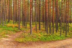 Landskap i pinjeskogen Arkivbilder