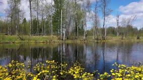 Landskap med att blomma ringblomman på kanten av en blandad skog i nordliga Sibirien stock video