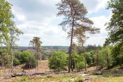 Landskap med björkträd och PinusSylvestris träd royaltyfria foton
