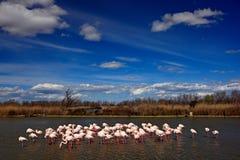 Landskap med flamingo Flock av större flamingo, Phoenicopterus ruber, trevlig rosa stor fågel som dansar i vattnet, djur i th Fotografering för Bildbyråer
