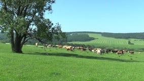 Landskap med flocken av kor på ängen, den Karpaty för biosfärreservationsvresighet UNESCO arkivfilmer