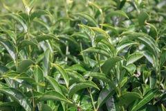 Landskap med gröna fält av te i Ooty arkivfoton