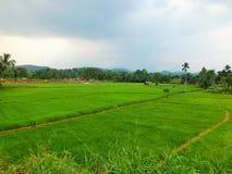 Landskap med gröna fält av te i Sri Lanka Arkivfoton