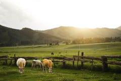 Landskap med kor och berg Royaltyfri Bild