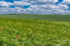 Landskap med omogna vetefält och lösa vallmo i Ukraina royaltyfri bild