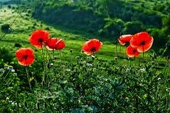 Landskap med poppies-1 Fotografering för Bildbyråer