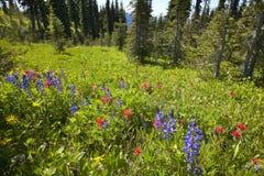 Landskap med skogen i Bristish Columbia Montering Revelstoke Ca arkivbild
