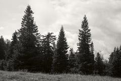 Landskap med stora granträd på äng i dimmiga berg Fotografering för Bildbyråer