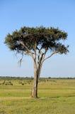 Landskap med trädet i Afrika Arkivbilder
