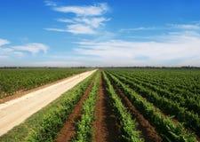Landskap med vingården Royaltyfria Foton