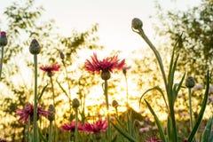 Landskap naturbakgrund av det härliga rosa blommafältet med Arkivfoto
