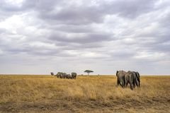 Landskap och djurliv i Tanzania - elefant Fotografering för Bildbyråer