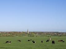 Landskap - oxar som betar i fält. Kyrklig tornspira i bakgrund Royaltyfri Foto