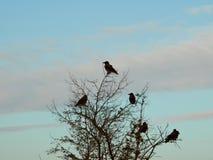 Landskap Ravens på träd Royaltyfri Bild
