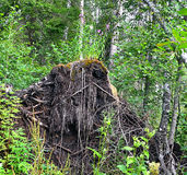Landskap rotar av trädet avverkad storm Royaltyfri Bild