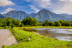 Landskap sikten av den Hanalai dalen med lös gäss Nene, Kauai Royaltyfria Bilder