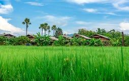 Landskap sikten av träkojan i risfältfält Arkivfoto