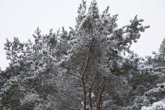 Landskap Vinterskogtexturer Bakgrund Landskap royaltyfria foton