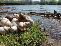 Landskape white snails. Empty shells of river snails on the river bank Royalty Free Stock Image