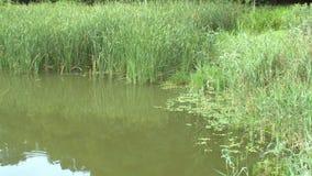Landskapet av ett damm i ett offentligt parkerar med högväxta vasser stock video