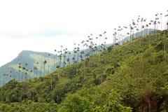 Landskapet i den Cocora dalen med vaxet gömma i handflatan, mellan mountaen arkivfoton
