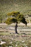 Landskapet med ett ensamt sörjer trädet in i nationalparken av toppiga bergskedjan Maria Fotografering för Bildbyråer