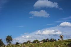 Landskapet mjölkar kor Arkivfoto