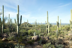 LandskapSaguaronationalpark, Arizona Arkivbilder