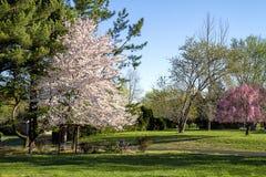 Landskapsikt av för blomningotta för körsbärsrött träd som den oavkortade solen skiner på den arkivfoto