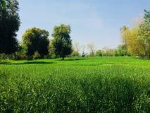 landskapsikten av grönt vete kantjusterar med blå himmel Arkivbild