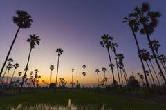 Landskapsockerpalmträd på risfält i skymning Arkivbilder