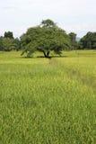 Landskapwirhricefields Thailand Fotografering för Bildbyråer