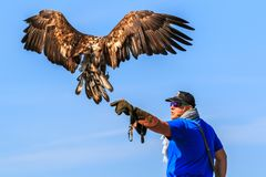 Mountain eagle landing on a hawkers hand. LANDSKRON, AUSTRIA - SEPTEMBER 23rd 2017: Mountain eagle landing on a hawkers hand in Landskron `Adler arena royalty free stock photography