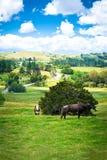 Landslandskapet med två kor och en brun tjur som ser rak in i kameran från en frodig gräsplan, betar av gräs royaltyfri bild