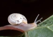 Landsnigel med en parasit i ögonstammen Arkivfoton