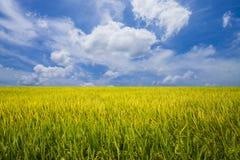 Landspace-Ansicht über Reisfeld mit einem drastischen blauen Himmel Stockfotografie