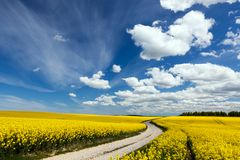 Landsvägen på vårfält av gulingblommor, våldtar solig blå sky Arkivfoto
