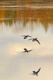 Landung der hölzernen Ente der Paare Lizenzfreie Stockfotografie