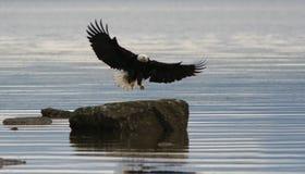 Landung des kahlen Adlers Stockbild